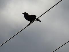 American Crow - Texas by SpeedyJR (SpeedyJR) Tags: ©2019janicerodriguez sanbernardnwr brazoriacountytx americancrow crows birds wildlife nature nationalwildliferefuges nwr brazoriacountytexas texas speedyjr