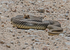 Snake Eastern Montpellier Snake (Malpolon insignitus fuscus) near Agiosas Lesvos 15/05/16 (Mick Sway) Tags: easternmontpelliersnakemalpoloninsignitusfuscus snake lesvossnakes snakesofgreece greeksnakes europeansnakes europeanreptiles reptiles greekreptiles herpetology