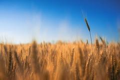 Summer (Pásztor András) Tags: naure wheat field sky summer blue sun light crop dslr nikon d5100 hungary andras pasztor photography 2019