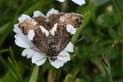 Four Spotted Moth Tyta luctuosa Lefkas Greece 6 (JohnMannPhoto) Tags: four spotted moth tyta luctuosa