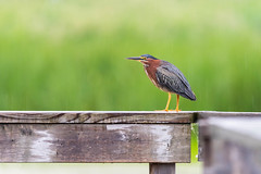 104928 - Héron Vert - Green Heron - Crop (xVanHovenx) Tags: bird heron nature animal boucherville oiseau héron greenheron héronvert parcdelafrayère sonya7iii sigma150600mmcontemporary sigmamc11