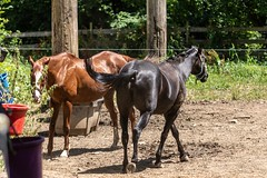 This Way & That Way (hoffler_pictorials) Tags: contemporary sigmalens a6400 sonye sony eating riding animals country stable outside brown horseshoe horses