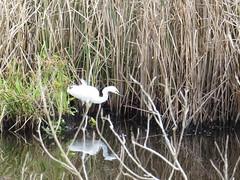 Snowy Egret - Texas by SpeedyJR (SpeedyJR) Tags: birds snowyegret egrets brazorianwr brazoriacountytx ©2019janicerodriguez nature texas wildlife nationalwildliferefuge nwr brazoriacountytexas speedyjr