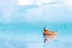 ᓱᑦᒐᒃ | Saurraq | Red Phalarope | Phalaropus fulicarius | Male, Breeding Plumage (Paul B Jones) Tags: floeedge ᓱᑦᒐᒃ saurraq redphalarope phalaropusfulicarius nunavut arctic canada bird wildlife nature male breedingplumage canon eos1dxmarkii ef600mmf4lisiiiusm ef14xiii pondinlet