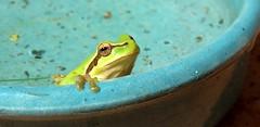 Coucou ! (bernard.bonifassi) Tags: grenouille rainette rainetteméridionale 06 alpesmaritimes 2019 juillet été batracien grenouilleverte counteadenissa canon canonpowershotsx60hs