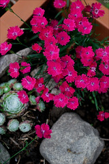 Dianthus (gwennan) Tags: flowers color macro cute green nature colors closeup spring walks russia moscow pink dianthus