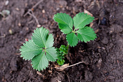 Strawberry leaves (gwennan) Tags: flowers color macro cute green nature colors closeup spring walks russia moscow strawberry