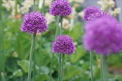 Alliums (gwennan) Tags: flowers color macro cute green nature colors closeup spring walks russia moscow purple allium alliumaflatunense