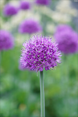 Allium aflatunense (gwennan) Tags: flowers color macro cute green nature colors closeup spring walks russia moscow purple allium alliumaflatunense