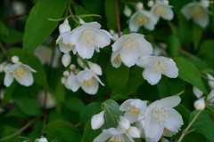 Philadelphus (gwennan) Tags: flowers color macro cute green nature colors closeup spring walks russia moscow white philadelphus