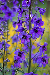 Purple on yellow (gwennan) Tags: spring nature green flowers closeup cute colors color russia walks moscow macro purple