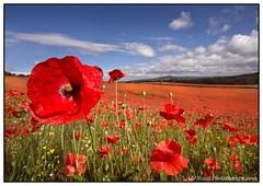 The poppy fields (Ade Ward Phototherapy.) Tags: english england british scenery landscape beautiful clouds sky grass field burlishtop stourportonsevern worcestershire poppyfields poppy