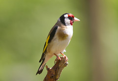 Goldfinch (wayne.withers1970) Tags: small pretty bird wings goldfinch finch color colorful nature natural colour colourful wild wildlife england summer flickr dof bokeh naturephotography country countryside outside outdoors alive fauna canon sigma light blur black white red brown gold green yellow feathers fine wood tree trees dark animal dorset