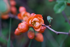 Quince in orange (gwennan) Tags: flowers color macro cute green nature colors closeup spring walks russia moscow orange quince