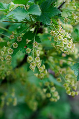 Currant blossom (gwennan) Tags: flowers color macro cute green nature colors closeup spring walks russia moscow currant