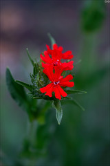 Red again (gwennan) Tags: spring nature green flowers closeup cute colors color russia walks moscow macro red