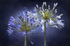 Agapantus (marcello.machelli Immagini) Tags: agapantus lilium lilly flower fiore fine arts finearts nikon macro blu blue white fiori lights artistic artitisco bianco stilllife