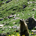 the call of the marmot