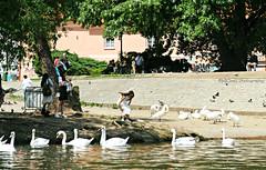swans (MiChaH) Tags: praag city stad 2019 citytrip park parc swans zwanen sundaymorning zondagmorgen waterkant oever waterfront girl meisje girlwithswans meisjemetzwanen