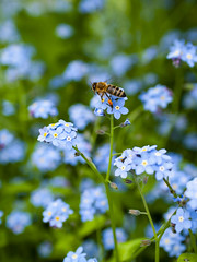 A bee on forget-me-nots (Raoul Pop) Tags: animal bee bloom blossom exposure flower forgetmenot garden home honeybee macro nature plant spring time vegetal vegetation