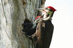 Dad And Son Pileated Woodpeckers (bearbear leggo) Tags: pileated woodpeckers naturephotography birds ontario kingston karenleggo outdoors wildlife woods trees trunk