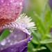 Iris oiseau