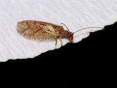 Hemerobiidae (natali22206) Tags: hemerobiidae гемероб сетчатокрылые макро насекомые московскаяобласть жуковский macro insect insects moscow russia