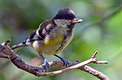 Just getting started... (Ian A Photography) Tags: birds birdwatch britishbirds gardenbirds greattit juvenilebirds fledgling nature nikon ukbirds ukwildlife wildlife goldwildlife