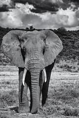 Elephant (Leon Sammartino) Tags: sambaru samburu kenya east africa north national parl elephant safari fine art monochrome black white tusk nose trunk fujifilm xmount