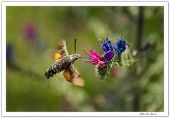 Echium vulgare (viborera) y sus visitadores... (JLuis San Agustín) Tags: 2018 flora insectos flores echiumvulgare navarra