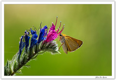 Echium vulgare  y sus visitadores... (JLuis San Agustín) Tags: 2018 flora insectos flores echiumvulgare navarra