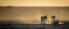 Dust rolling (Valérie C) Tags: zebra dust sand namibia etisha wild savannah nikon d750 200500mm animals nature africa