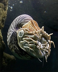 A Nautilus Hunting for Food (Mary Faith.) Tags: nautilus fish mollusk aquarium hunting open face shell eye tentacles prehistoric frontal swimming closeup detailed nature
