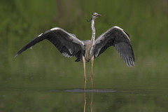 Airone cenerino (Ricky_71) Tags: grey heron swamp summer color nikon wild
