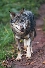 Cute wolf looking at me (Tambako the Jaguar) Tags: dog cute standing wolf looking posing canine canid park portrait face grass way zoo switzerland nikon interested d5 siky crémines