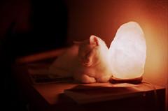 (Viktor Kiss) Tags: analog 35mm fuji fujifilm film fujicolorc200 nikon fm2 50mm 14 cat lamp light pet animal