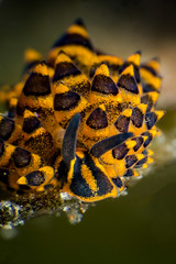 Costasiella sp. slug (Luko GR) Tags: dauin philippines visayas negros underwater diving macro muck seaslugs nudibranch