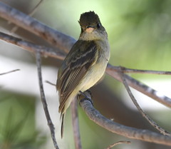 _CLZ8755 (catherine.zinsky711) Tags: flycatcher pacificslope bird insect nikon perching tyrant tyrannidae flatbilled solitary