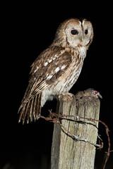 Tawny owl (Strix aluco) (www.clivetemple.com) Tags: bird birds night owl tawny