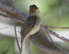 _CLZ8750 (catherine.zinsky711) Tags: flycatcher pacificslope bird insect nikon perching tyrant tyrannidae flatbilled solitary