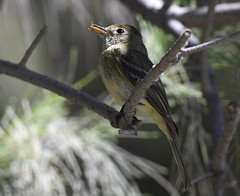 _CLZ8809 (catherine.zinsky711) Tags: flycatcher pacificslope bird insect nikon perching tyrant tyrannidae flatbilled solitary