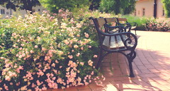 Bench and roses / Pad és rózsák (Ibolya Mester) Tags: hungary zirc abbey bench roses romantic magyar magyarország flower canon canoneos600d color colors