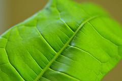 2019-07-01 Macro leaf (tsegat1) Tags: colorfulworldgreen cmwdgreen macro leaf tokina hggt