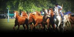 La overa rosada y los alazanes (Eduardo Amorim) Tags: cavalos caballos horses chevaux cavalli pferde caballo horse cheval cavallo pferd cavalo cavall tropilla tropilha herd tropillas tropilhas 馬 حصان 马 лошадь crioulo criollo crioulos criollos cavalocrioulo cavaloscrioulos caballocriollo caballoscriollos ayacucho provinciadebuenosaires buenosairesprovince argentina sudamérica südamerika suramérica américadosul southamerica amériquedusud americameridionale américadelsur americadelsud eduardoamorim gaucho gauchos gaúcho gaúchos