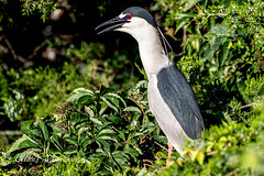 Black-Crown Night Heron (mayekarulhas) Tags: oceancity newjersey unitedstatesofamerica black night heron canon canon1dxmark2 canon400mm canon14converter bird avian wildlife wild