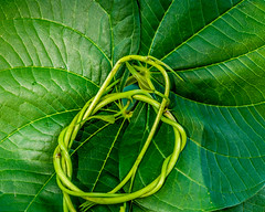 Tangled up in Green (risaclics) Tags: crazy tuesday entangled green smile saturday leaf 60mmmacro june2019 leaves nikond610d natural nature twist vine vines crazytuesday smileonsaturday