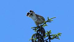 Broad-Winged Hawk (blazer8696) Tags: img0529 brookfield connecticut unitedstates 2019 accipitridae accipitriformes bird broad broadwingedhawk buteo buteoplatypterus butplt bwha ct ecw hawk obtusehill platypterus raptor t2019 tabledeck usa winged