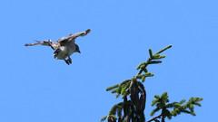 Approach (blazer8696) Tags: img0525 brookfield connecticut unitedstates 2019 accipitridae accipitriformes bird broad broadwingedhawk buteo buteoplatypterus butplt bwha ct ecw hawk obtusehill platypterus raptor t2019 tabledeck usa winged