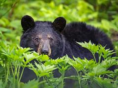 Lurking... (DTT67) Tags: blackbear bear animal mammal forest shenandoah canon1dxmkii 500mmii 1dxmkii canon wildlife nature