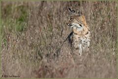 Bobcat, Point Reyes 4403 (maguire33@verizon.net) Tags: pointreyesnationalseashore bobcat wildlife